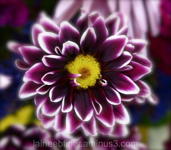 flowers, dahlia, purple, white, yellow