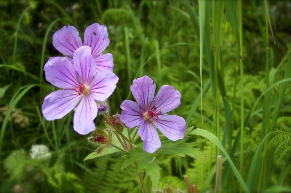 wild geraniums