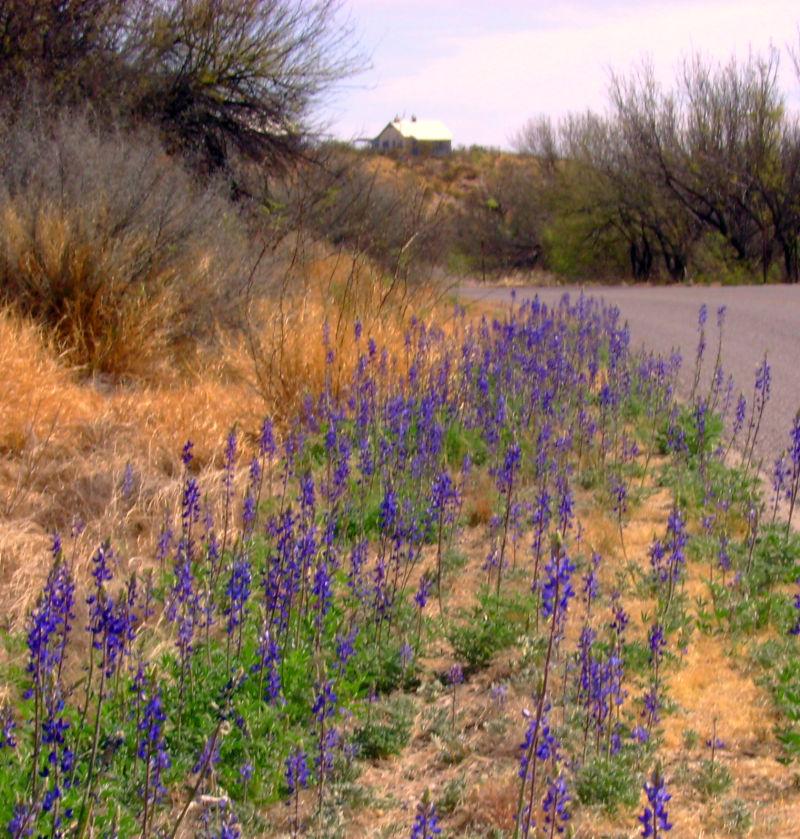 Bluebonnets in Feb. Big Bend 2009