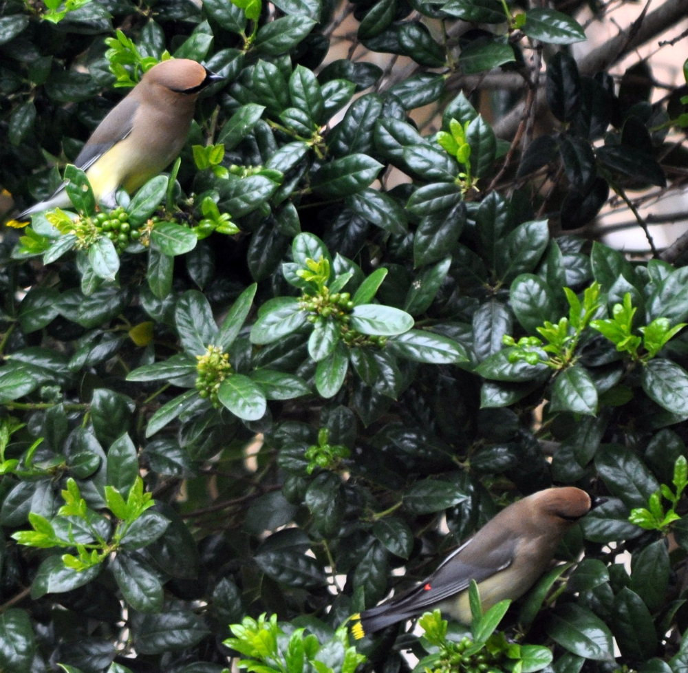 cedar wax wings 2012