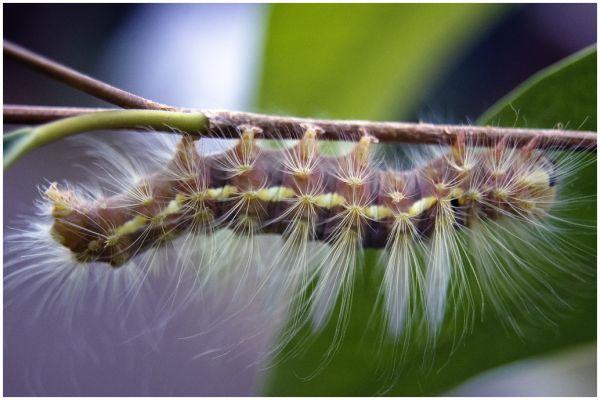 Cattepillar