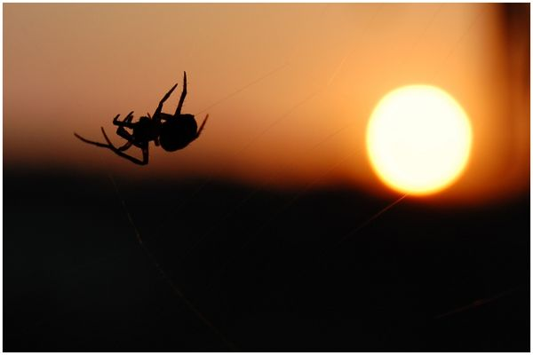 Spider at Dusk