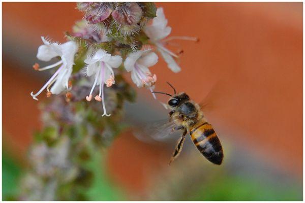 Bee in Flight 2