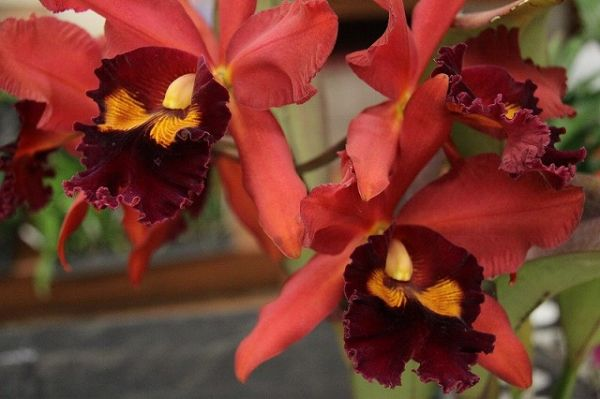 orchid100