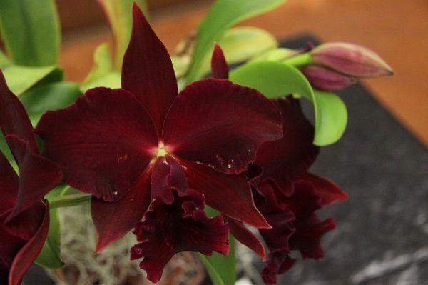 orchid102