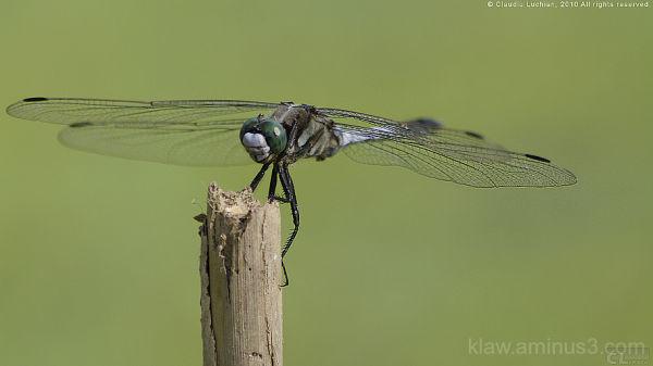 dragonfly, Libelle, libellule, libelula, szitakötő