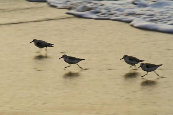 shorebirds birds ocean water