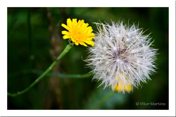 The Dandelion and The Yellow  Friends