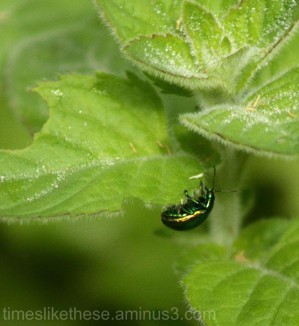 Bug on a leaf, Tyneham village