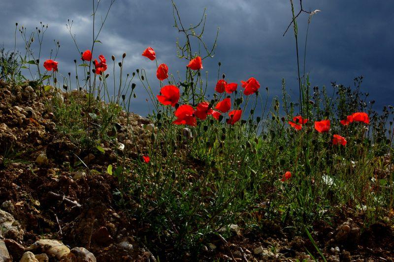 Poppies against a dark, thundery sky