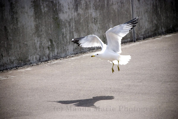 A Duluth seagull caught perfectly in flight