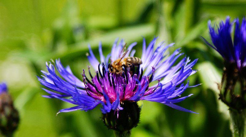 busy bee in a flower