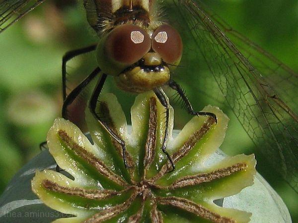 insect macro  damsel