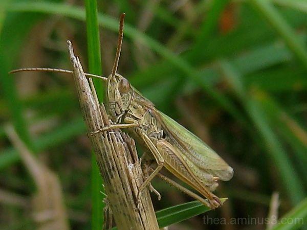 insect macro grasshopper
