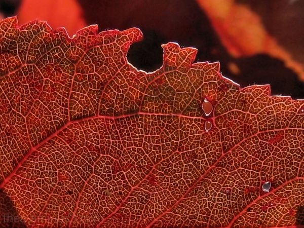 macro red leaf abstract