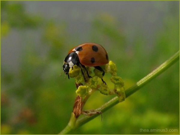 insect macro  ladybug