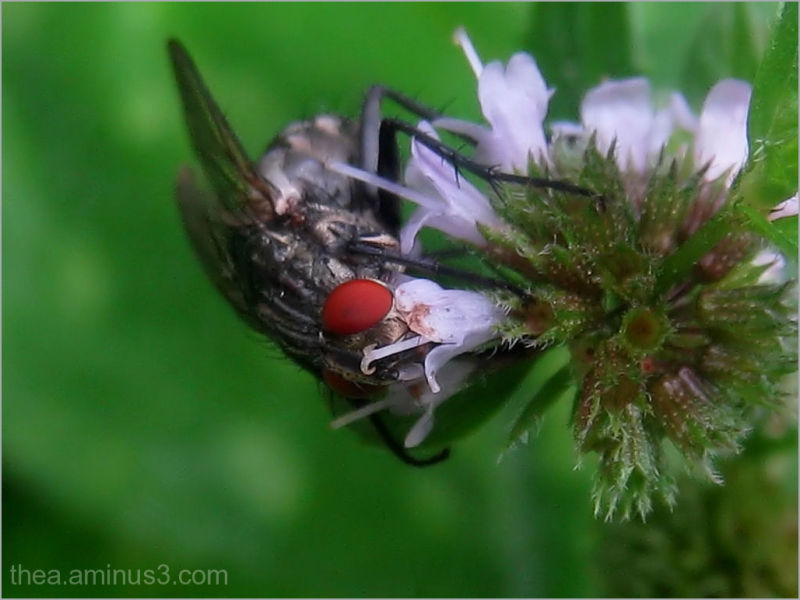 red fly macro