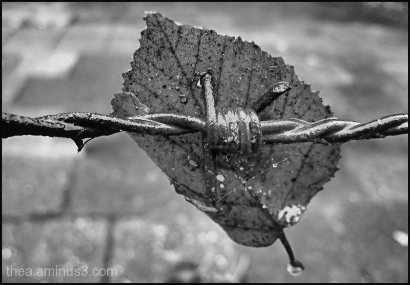 barbwire leaf b&w rain