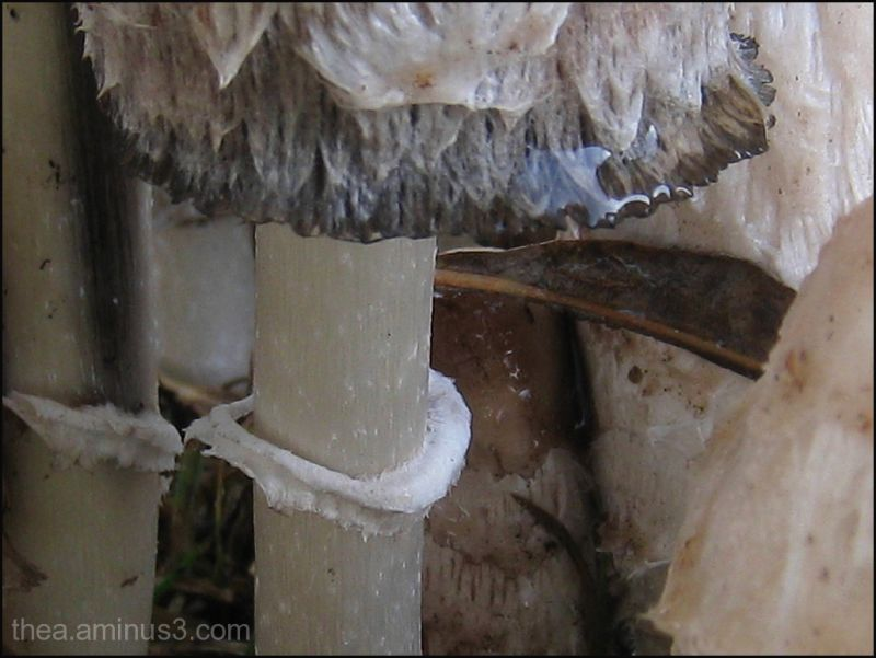 macro mushroom inktzwam paddestoel rain