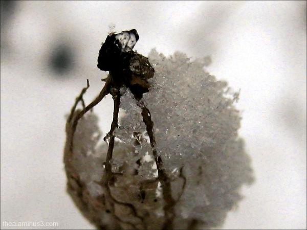 snow macro seed