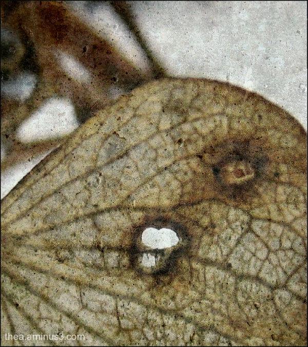 leaf hortensia snow