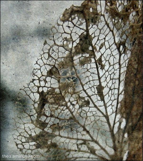 leaf hortensia snow macro