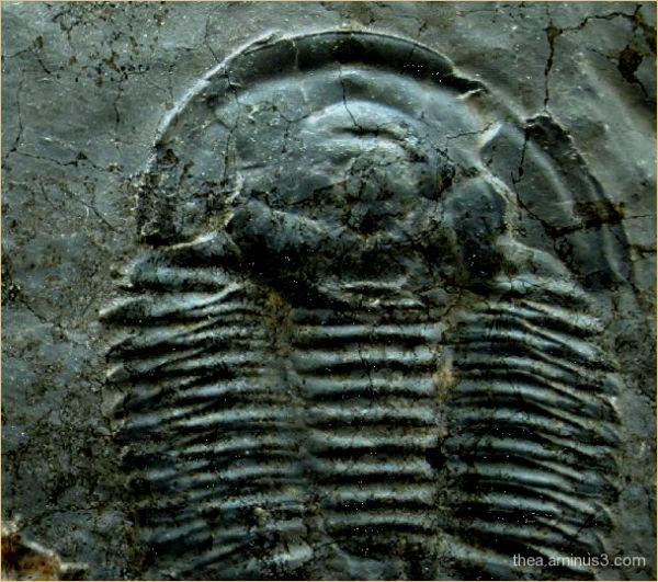trilobite fossile macro