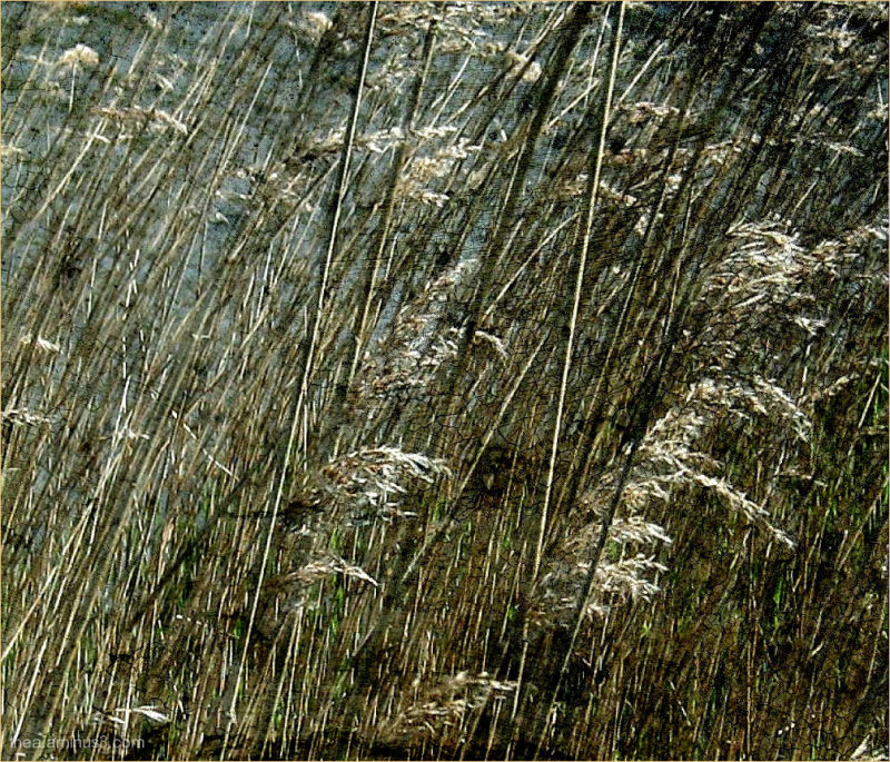 reed..wind..