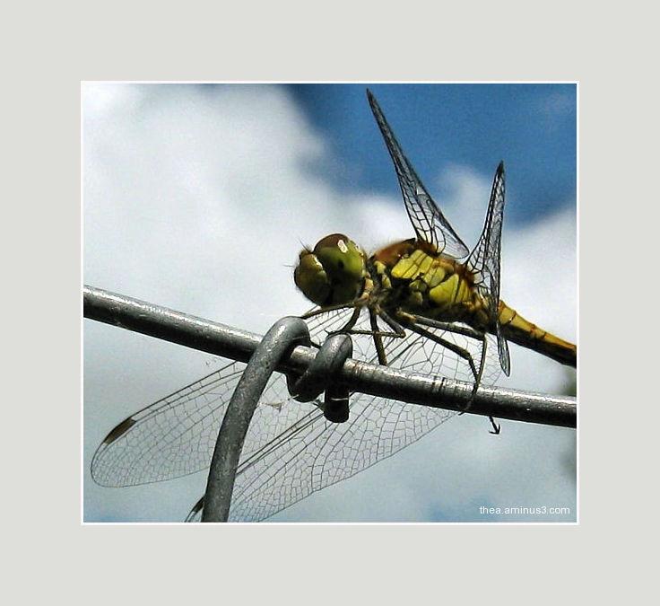 libelle fence wings macro