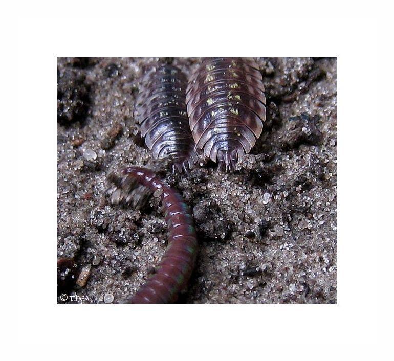 woodlice worm macro