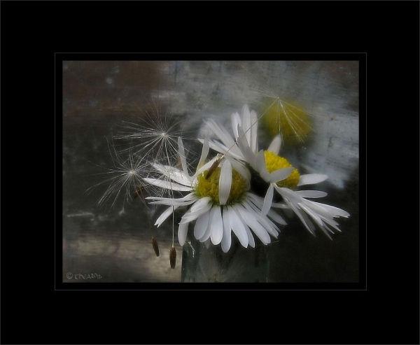 Daisy's  bottle dandelion seeds macro