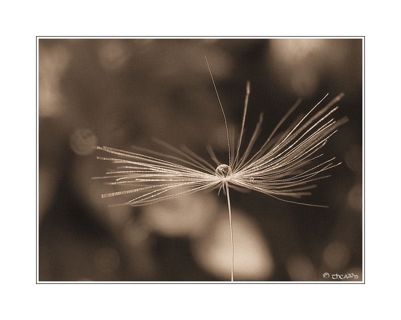 dandelion seed drop rain macro