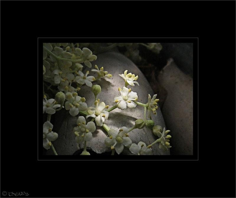 elderflower vlierbesbloesem macro