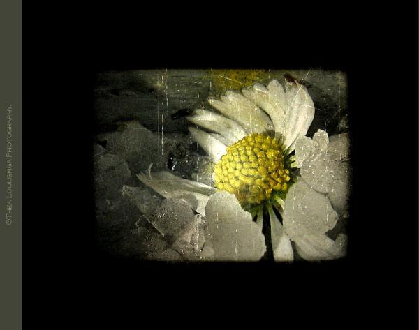 daisy ice hail macro