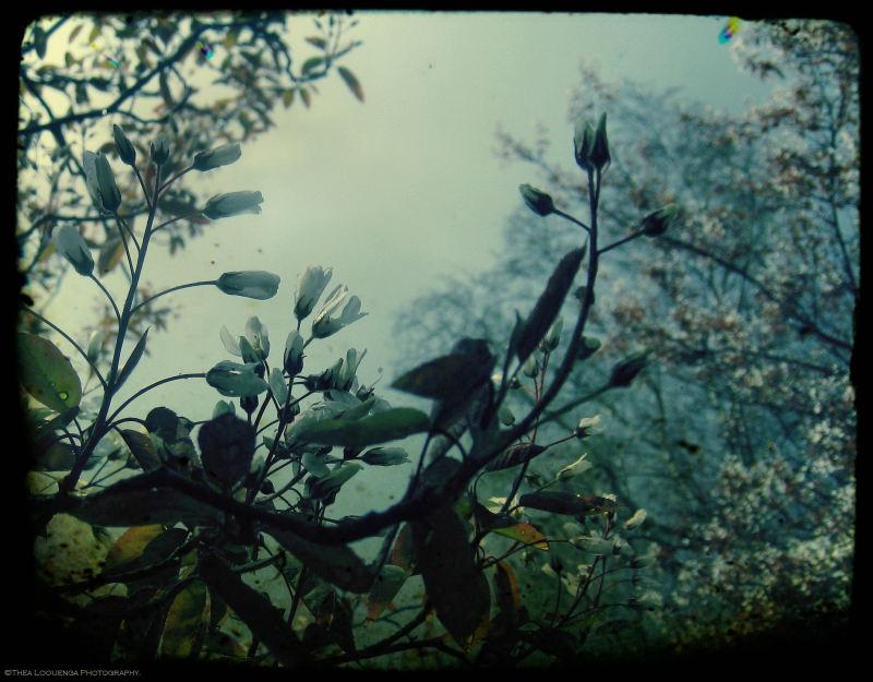 blossoms garden nature krentenboompje amelanchier