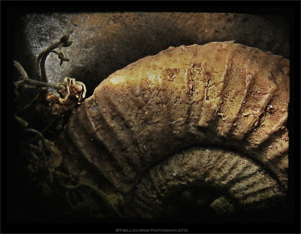 ammonite fossil macro