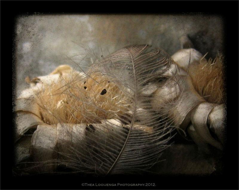 cornflower buttons macro feather