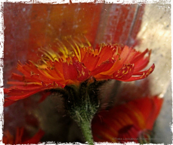 Orange hawkweed flower macro