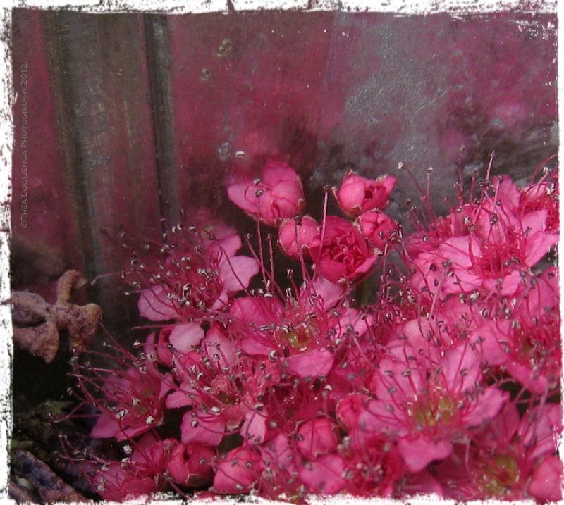 flowers pink macro
