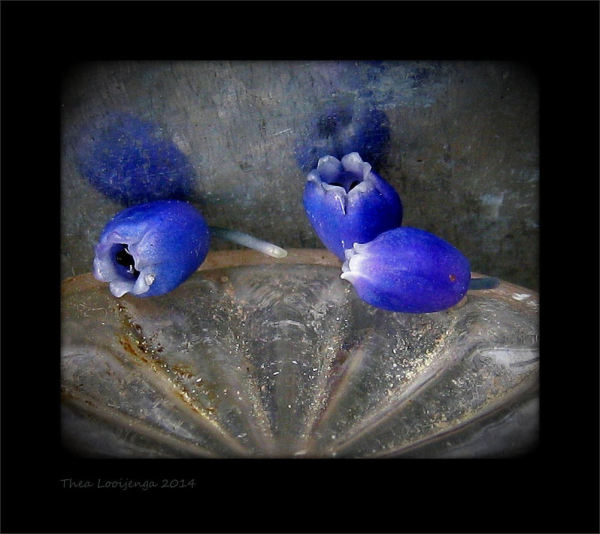 macro grape hyacinth