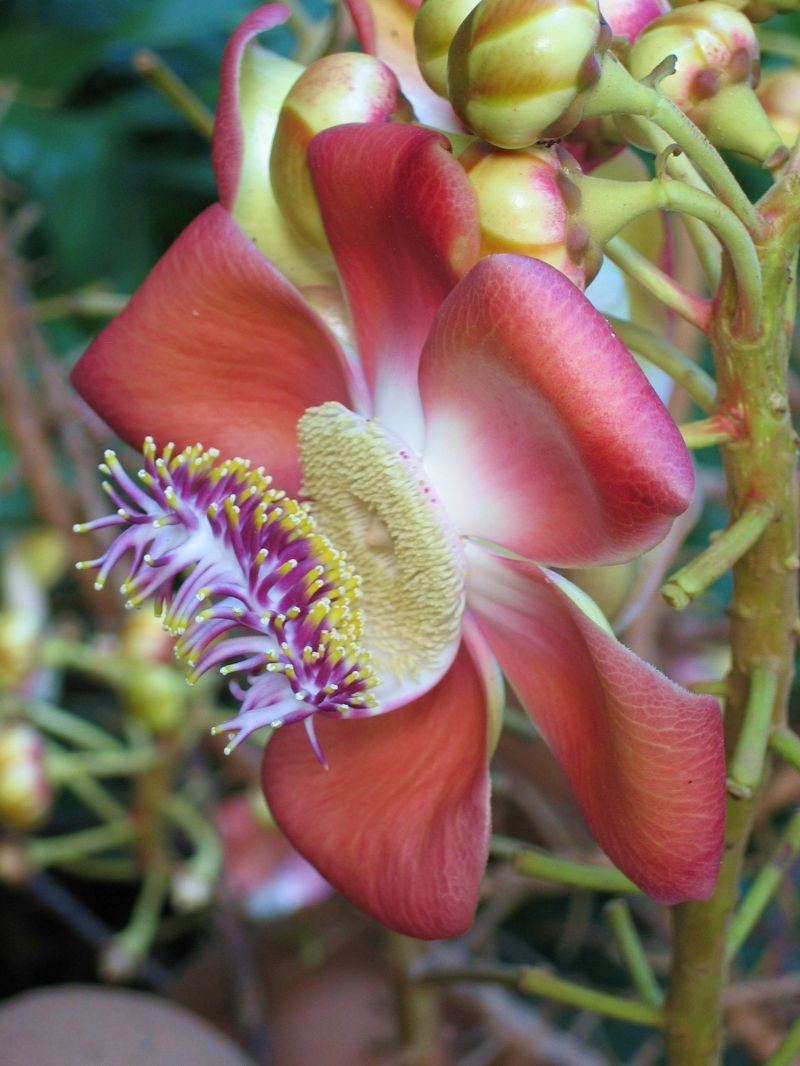 Cannonball Flower