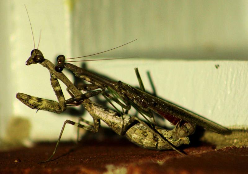Mating Mantis