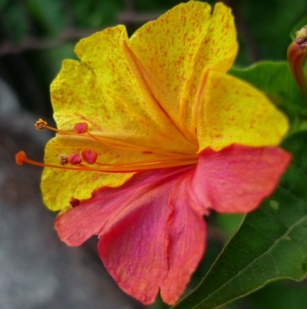 flor con pétalos de colores diferentes