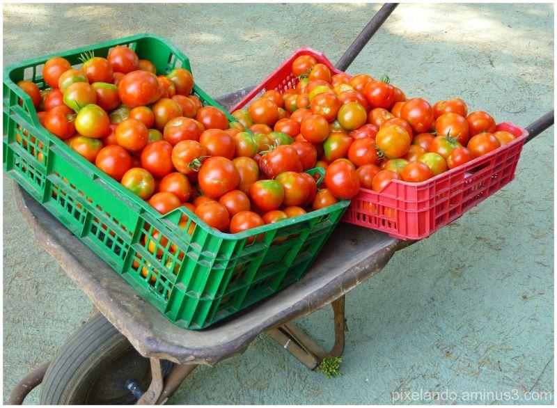 carrito de mano con 2 cajas de tomates