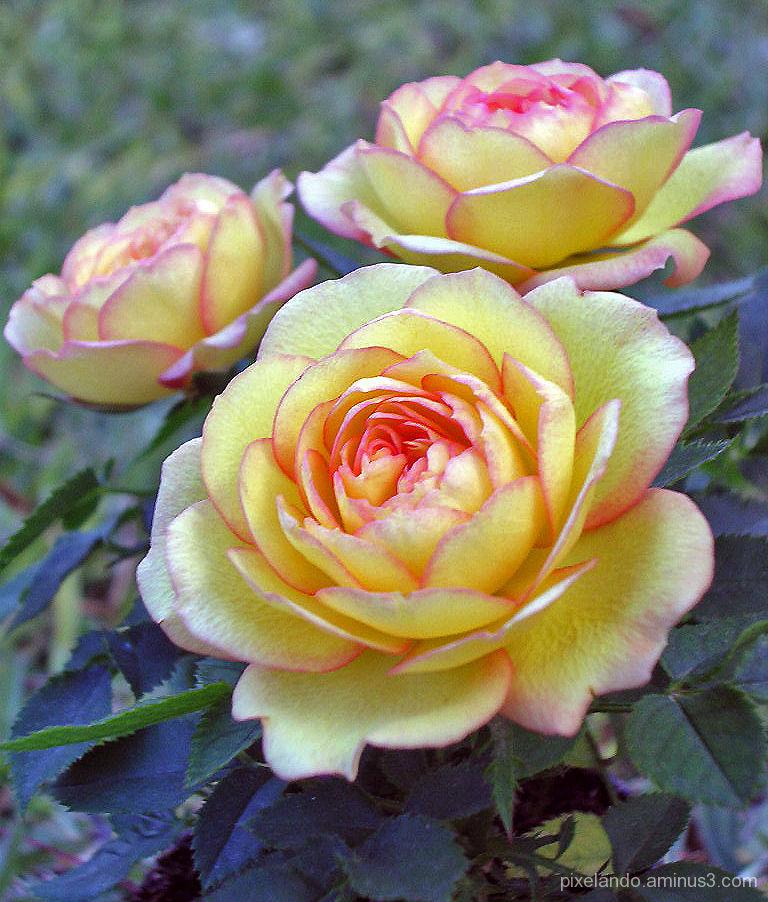 rosas enanas amarillas