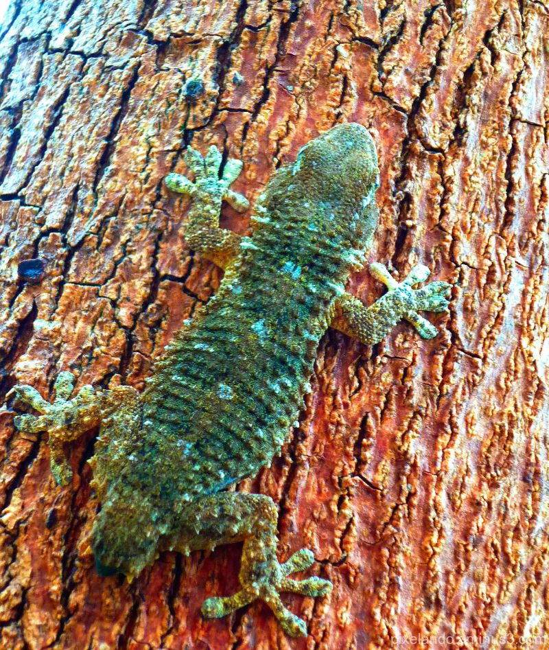 salamanquesa sin cola en un tronco de jacaranda