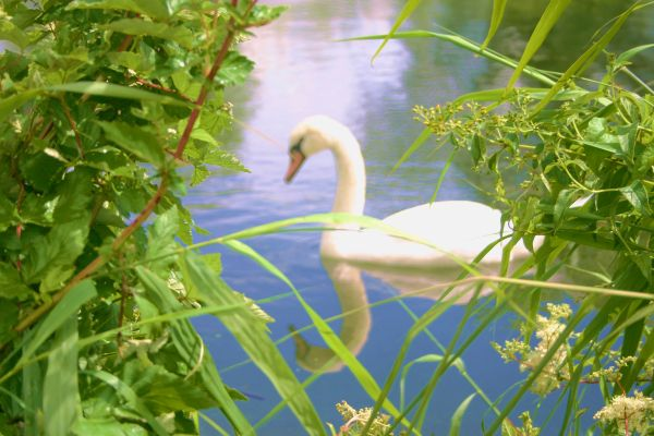 swan window