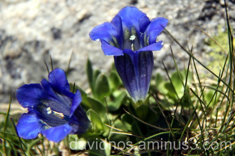 Pyrenees' flowers