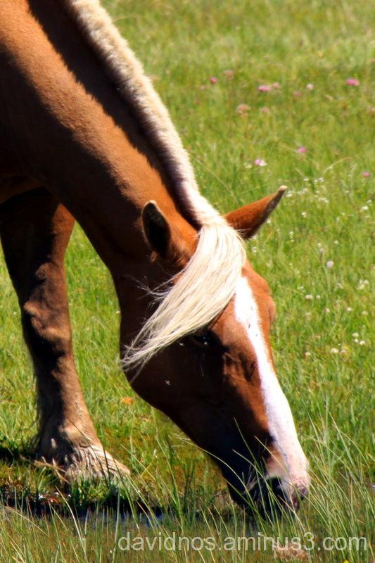 Pyrenees' Horse