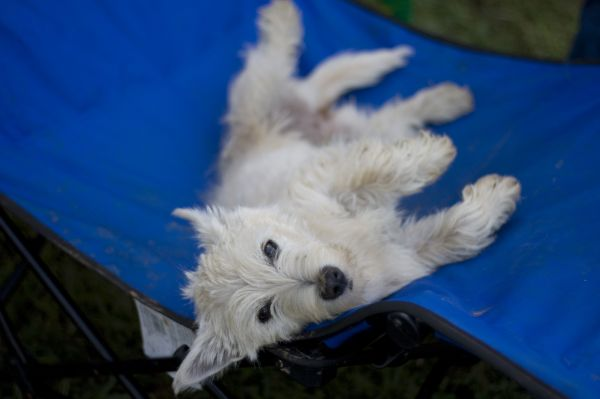 Westie begging for a belly rub